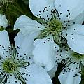 Blackberry Blossoms by Charles Ford