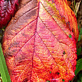 Blackberry Leaf In The Fall 3 by Duane McCullough