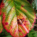 Blackberry Leaf In The Fall 4 by Duane McCullough