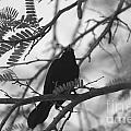 Blackbird by Maz Johnrose