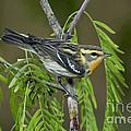 Blackburnian Warbler by Anthony Mercieca