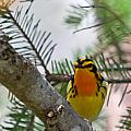 Blackburnian Warbler Looking At You by Lloyd Alexander