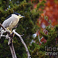 Blacked-capped Night Heron #3 by David Cutts