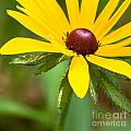 Blackeyed Susan by Nikki Vig