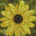 Blackeyed Suzy Mosaic