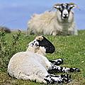 Blackface Sheep 2 by Arterra Picture Library