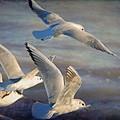 Black.headed Seagulls In Flight by Perry Van Munster