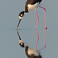Blacknecked Stilt With Reflection by Jerry Fornarotto