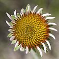 Blacksamson Echinacea by Matthias Breiter