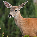 Blacktail Doe Looking At The Camera by Jeff Goulden