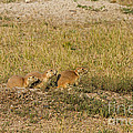 Blacktail Prairie Dogs In Roberts Prairie Dog Town by Fred Stearns