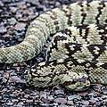 Blacktailed Rattlesnake by Renny Spencer