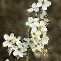Blackthorn Or Sloe Blossom  Prunus Spinosa by Liz Leyden