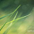 Blades Of Grass Bathing In The Sun by Priska Wettstein