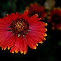 Blanket Flower I  by Dakota Light Photography By Dakota
