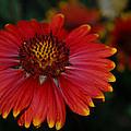 Blanket Flower II by Dakota Light Photography By Dakota