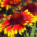 Blanket Flower by Sharon Talson