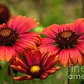 Blanket Flowers by Peggy Hughes