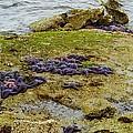 Blanket Of Seastars by Karen Molenaar Terrell