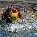 Blaze Retrieving Wilson 3 by Joe Teceno