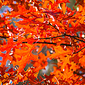 Blazing Maple by Alexander Senin