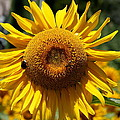 Blazing Yellow Sunflower by Christiane Schulze Art And Photography