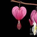 Bleeding Heart Flowers Showing Blooming Stages  by Phil Cardamone