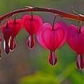 Bleeding Heart by Juergen Roth