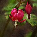 Bleeding Heart by Margie Hurwich