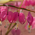 Bleeding Hearts  by Jemmy Archer