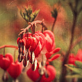 Bleeding Hearts by Spikey Mouse Photography