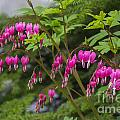 Bleeding Hearts by Louise Magno