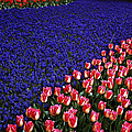 Blend Of Tulips by Michael Faryma