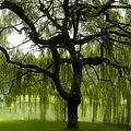 Bloedel Willow by Randy Redekopp
