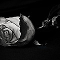 Bloodless Rose by Vanessa Valdes