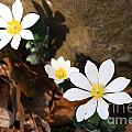 Bloodroot Beauty by Deanna Cagle
