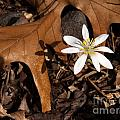Bloodroot On Forest Floor - Pennsylvania by Anna Lisa Yoder
