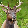 Bloody Elk by Greg Nyquist