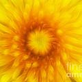 Bloom Of Dandelion by Michal Boubin