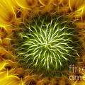 Bloom Of The Sunflower by Michal Boubin