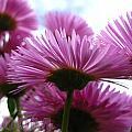 Bloom Pink Daisies by Debra Schwab