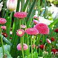Bloom Pink English Daisies by Debra Schwab