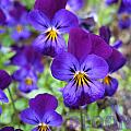Bloom Purple Violets by Debra Schwab