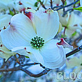 Bloom White Dogwood by Debra Schwab