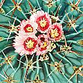 Bloomin' Horse Crippler Cactus by Pauline Walsh Jacobson