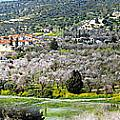 Blooming Almond Trees by Augusta Stylianou