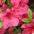 Blooming Azalea by Living Color Photography Lorraine Lynch