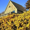 Blooming Bandon Broom by Will Borden