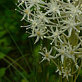 Blooming Bear Grass 3 by Whispering Peaks Photography
