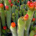 Blooming Cacti by Denise Mazzocco
